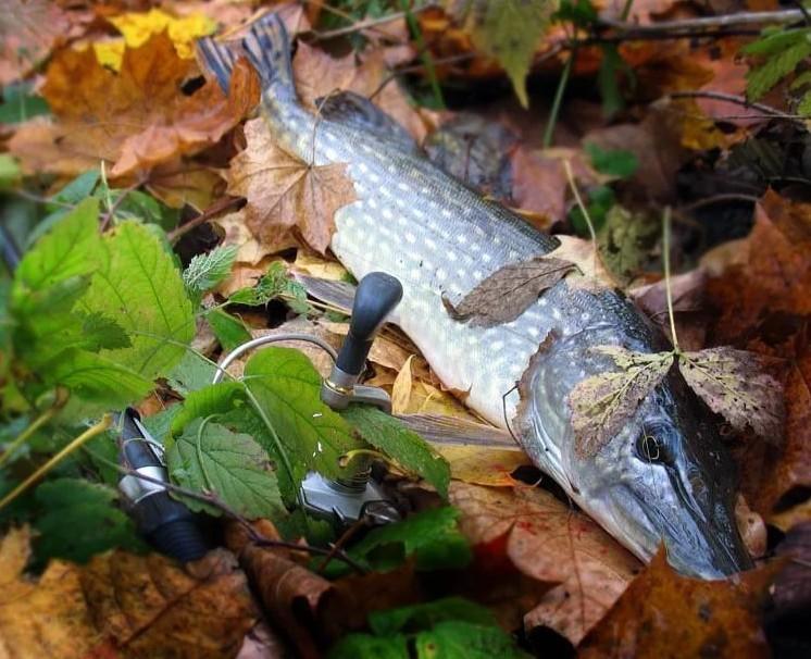 Щука: начало осеннего сезона ловли