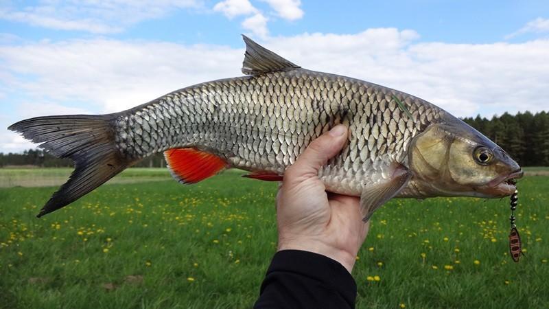 Повадки голавля и особенности ловли