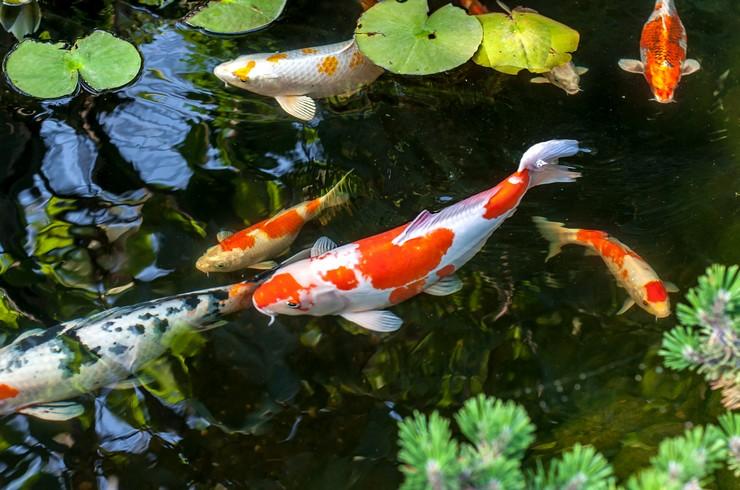 Какие рыбы и растения вы должны выбрать, чтобы упростить очистку пруда?