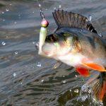 Как поймать окуня - советы и методы рыбной ловли