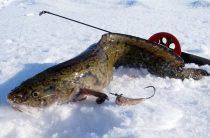 Зимняя рыбалка на налима: снасти, наживка