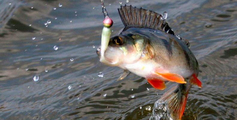 Как поймать окуня — советы и методы рыбной ловли