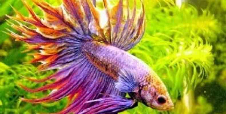 Красавцы и задиры аквариума